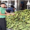 Düziçi'nde Mısır 1,5 tl'den 50 tl'ye düştü