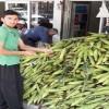 Düziçi'nde Mısır 1,5 tl'den 50 kuruşa düştü